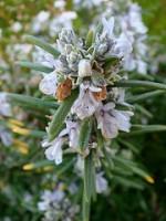 רוזמרין רפואי Rosmarinus Officinalis