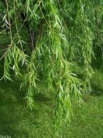 צמחי מרפא: ערבה salix alba